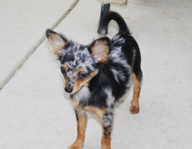 Blue Merle Chihuahua With Copper Points Love That Color Combo Tri