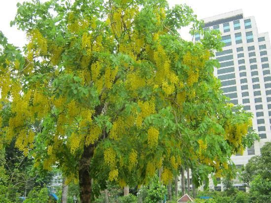 Maha bandoola garden a beautiful yellow flowering tree flowers maha bandoola garden a beautiful yellow flowering tree mightylinksfo Image collections
