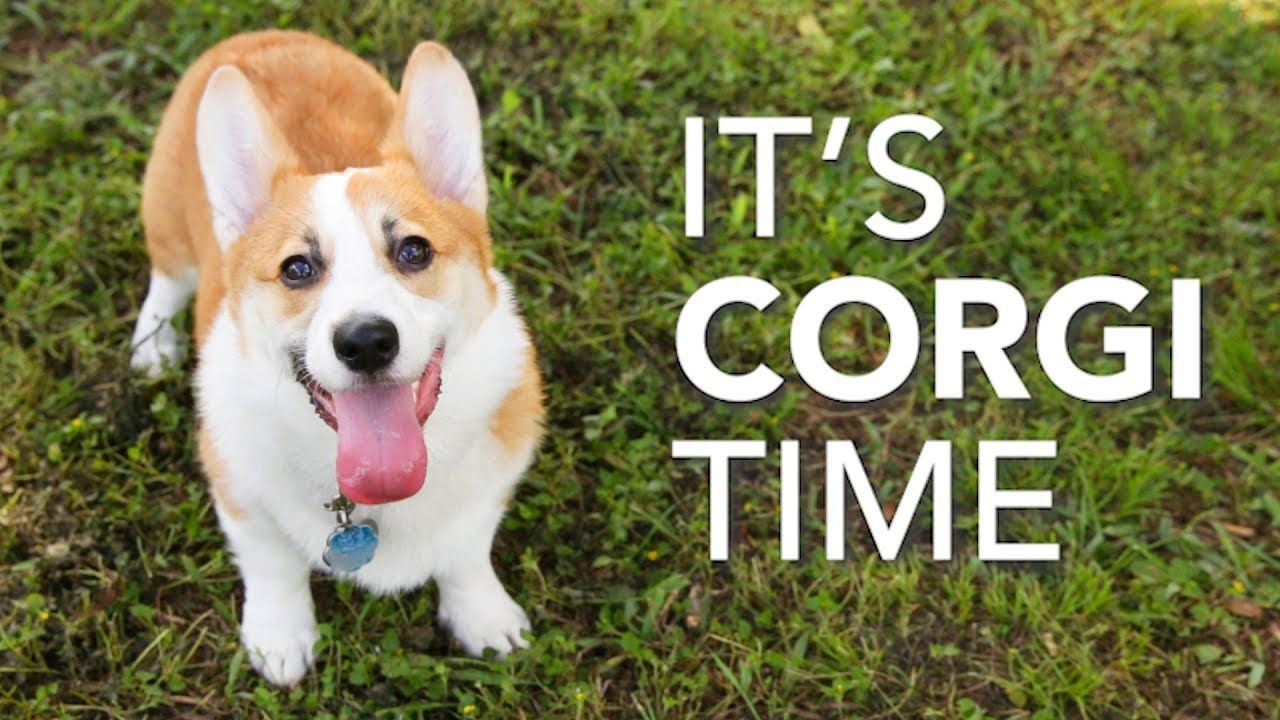 A Big Corgi Party Texas Corgi Roundup Youtube Corgi Welsh