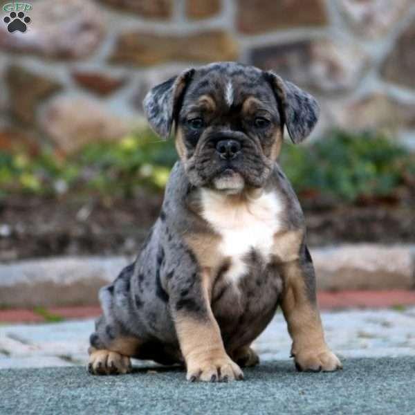 99+ English Bulldog Pitbull Mix Puppies in 2020 (With