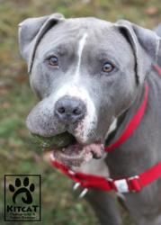 Sigfrid is an adoptable American Staffordshire Terrier Dog in Fitchburg, MA. Sigfrid's story is tragic, miraculous and nothing short of amazing. This boy and his female counterpart were brought to us ...