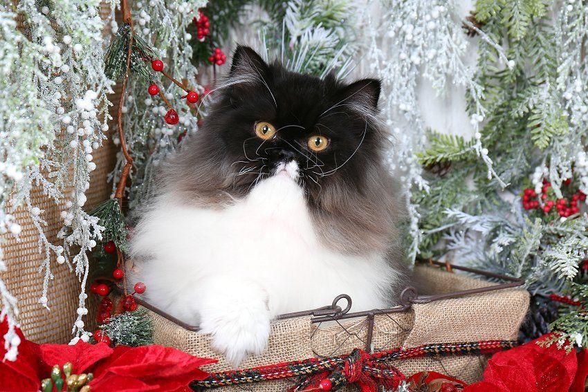 Black White Kittens White Persian Kittens Beautiful Cats