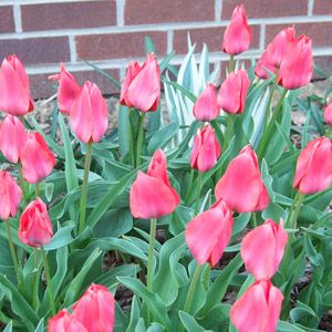 Top Tulips That Come Back Every Year Tulips Spring Bulbs Tulips Flowers