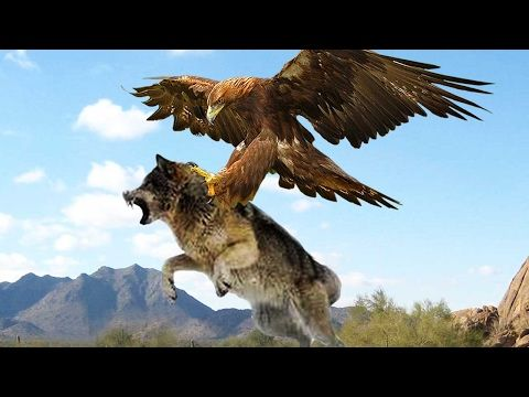 10 most Amazing Eagle Hunting Attacks including Eagle vs Wolf ...