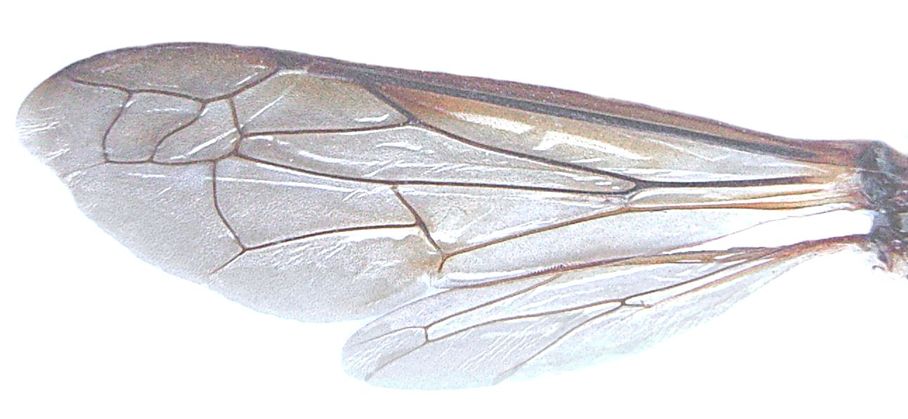 Waspwings Unfolded Jpg 1292 596 Insect Wings Insects Bee Wings