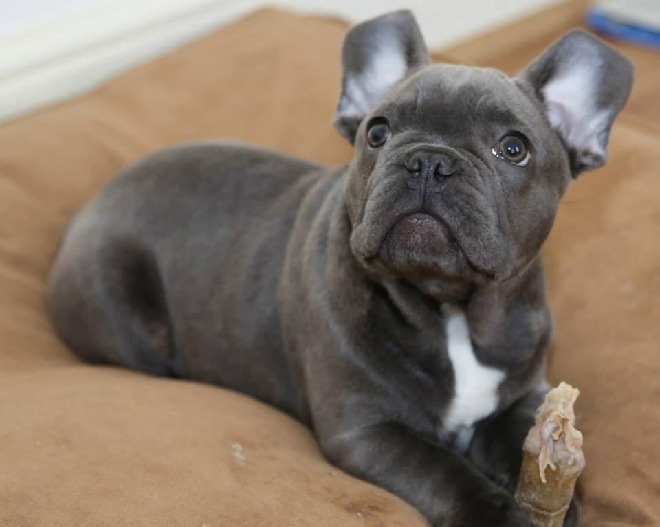 proven blue french bull dog stud waterlooville. Black Bedroom Furniture Sets. Home Design Ideas