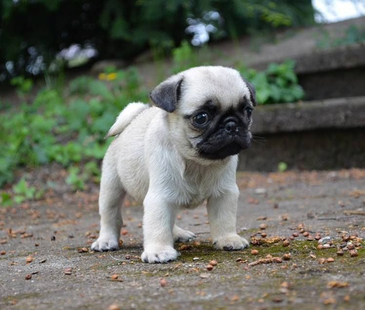 Pin By Puppies For Sale On Buy Sell Pug Puppies Online Baby