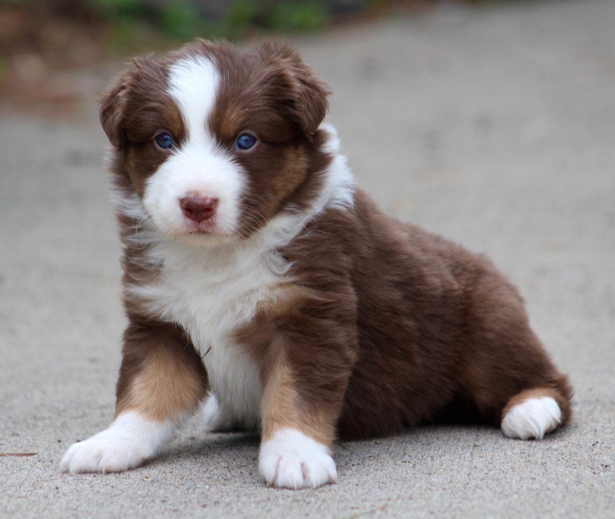 Puppies for sale australian shepherd