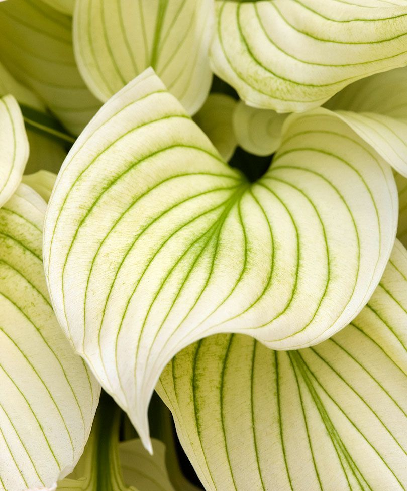 funkia 39 white feather 39 plantes bakker france plante. Black Bedroom Furniture Sets. Home Design Ideas