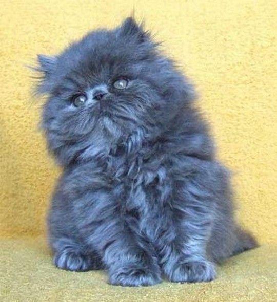 Plump Blue Grey Kitteh Kittens Cutest Kitten Pictures Kittens