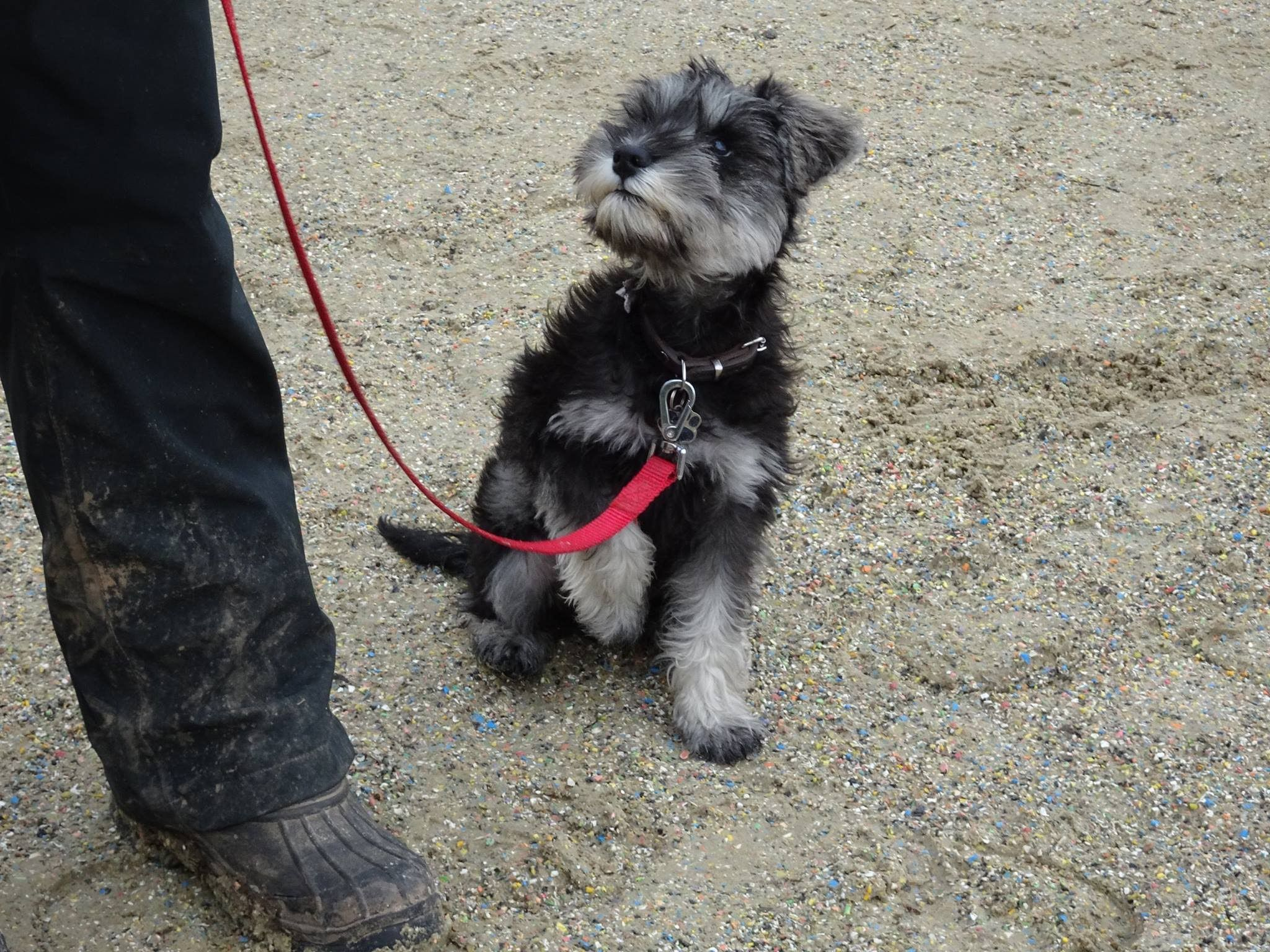 Remy - Miniature Schnauzer Puppy - 2 Week Residential Dog Training at Ad...