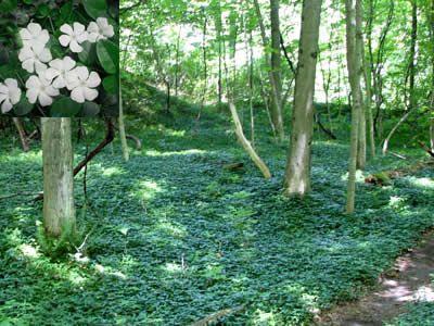 9cm Pot Heather Calluna vulgaris /'Johnson/'s Variety/' Autumn Lilac Pink Flowers