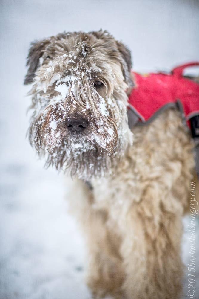 snow face wheaten