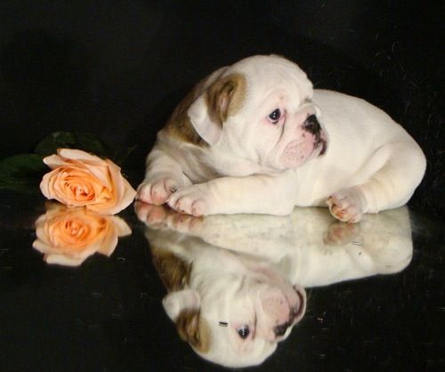 English Bulldog Puppy Bulldogs Bulldog Puppies Puppies