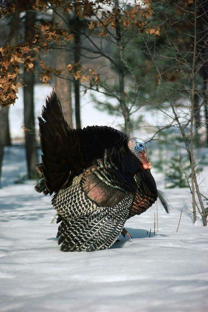 reminds me of the wild turkeys in our yard when I lived in
