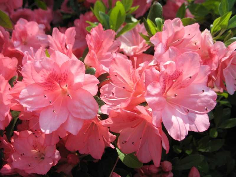Rhododendron Blaauws Pink Common Name Evergreen Azalea Type Broadleaf Family Ericaceae Zone 6 To 9 Height 2 4 Feet Spread