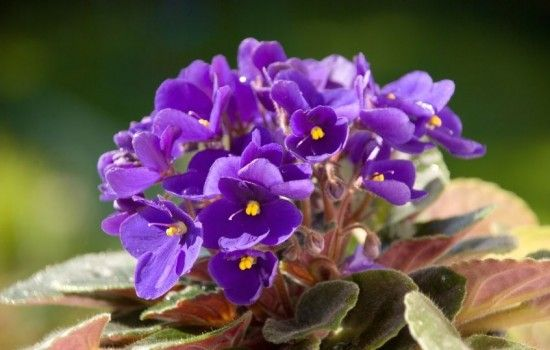 37 house plants perfect for terrariums purple flowering - Flowering House Plants Purple