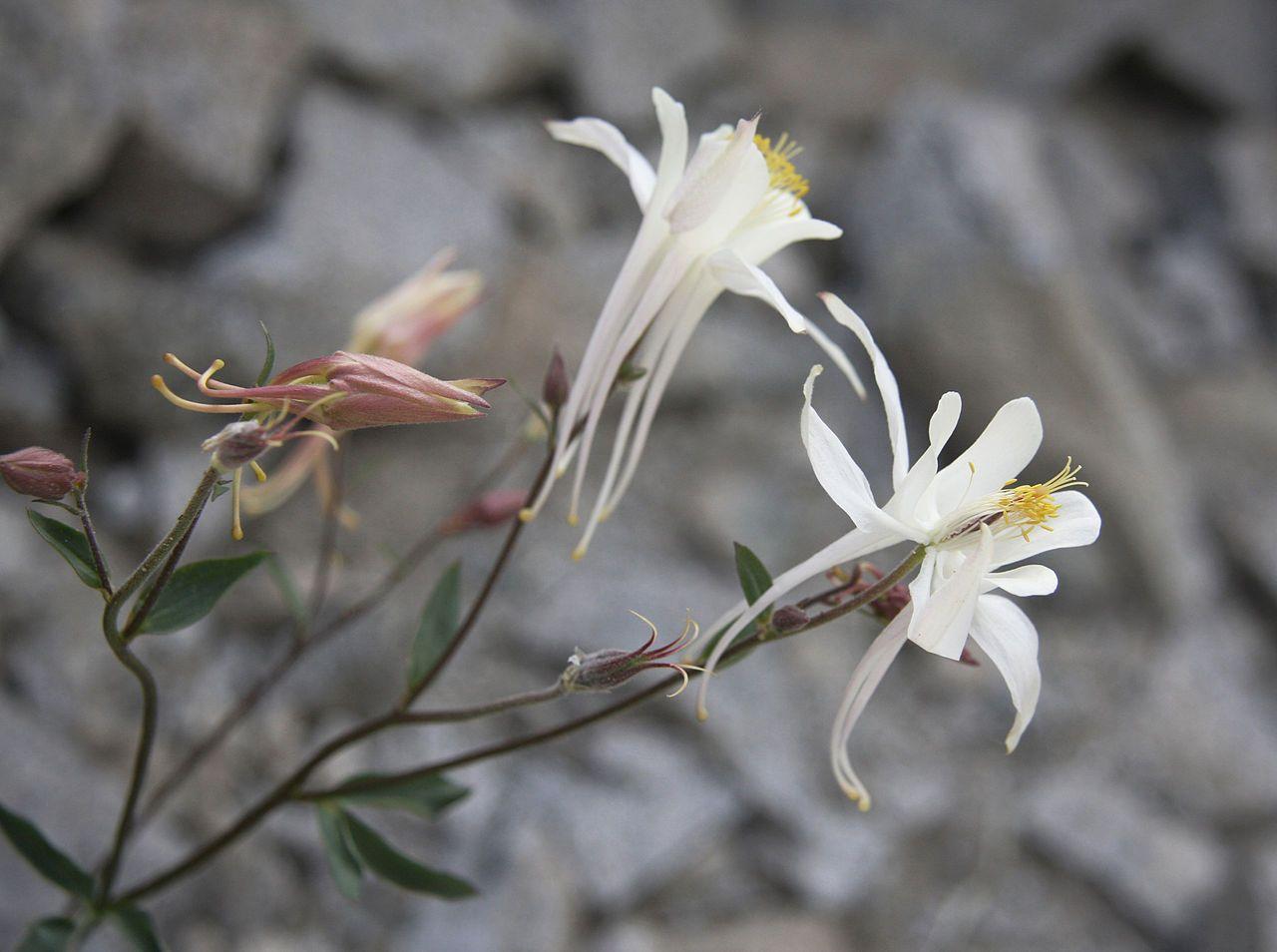 Aquilegia Pubescens Closeup Flora Of The Sierra Nevada Alpine Zone Wikipedia The Free Encyclopedia Sierra Nevada Sierra Nevada