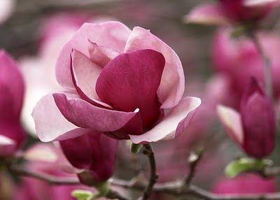 Magnificent magnolias!