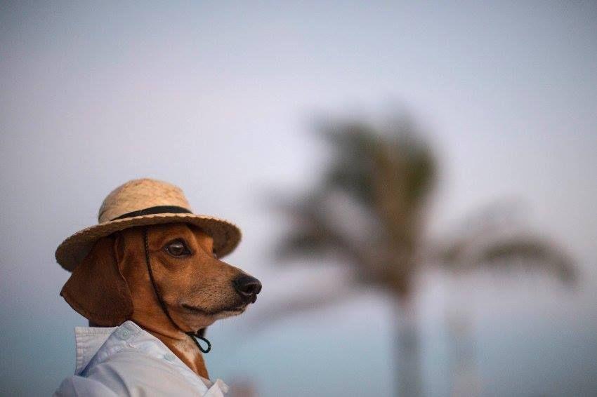Dackel Caique trägt für seinen Strandausflug in Rio de Janeiro ein leger geknöpftes Hemd und einen Strohhut. Foto: Felipe Dana/AP/dpa