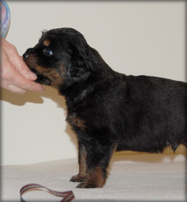 Rottweiler puppies nc for sale