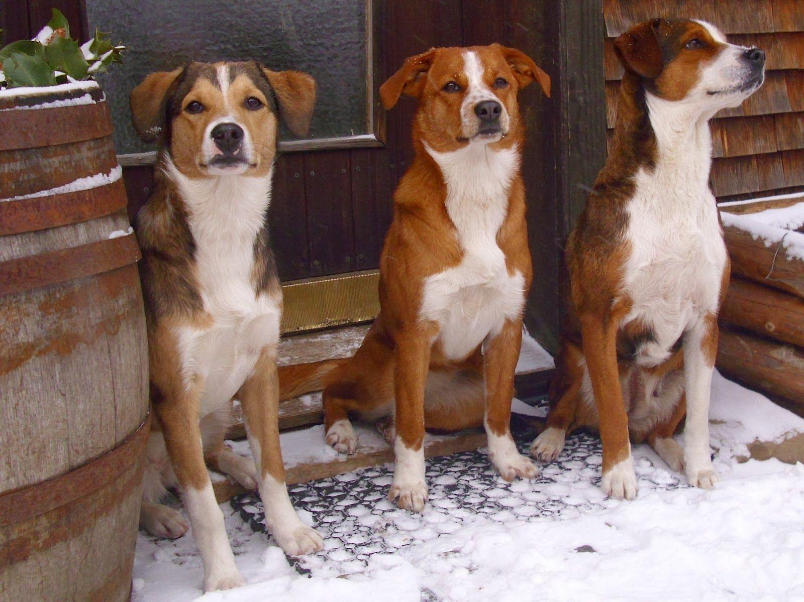 Österreichischer Pinscher/Austrian Pinscher. Hunde