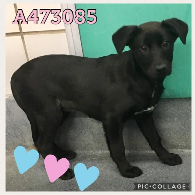 Labrador Retriever dog for Adoption in San Antonio, TX
