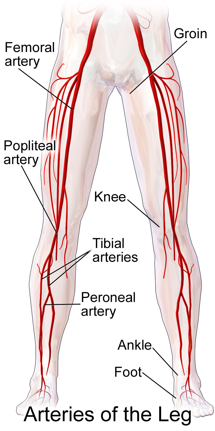 Femoral artery - Wikipedia | consejos | Pinterest | Anatomy, Medical ...
