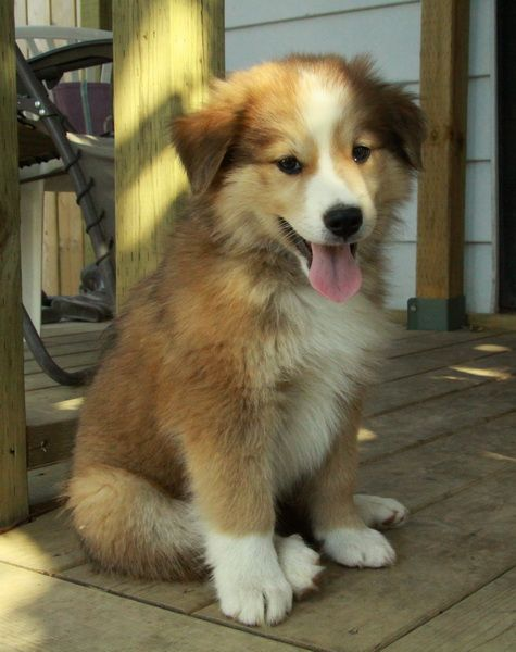 Rough Collie Cross Rough Collie Puppy Collie Puppies Rough Collie