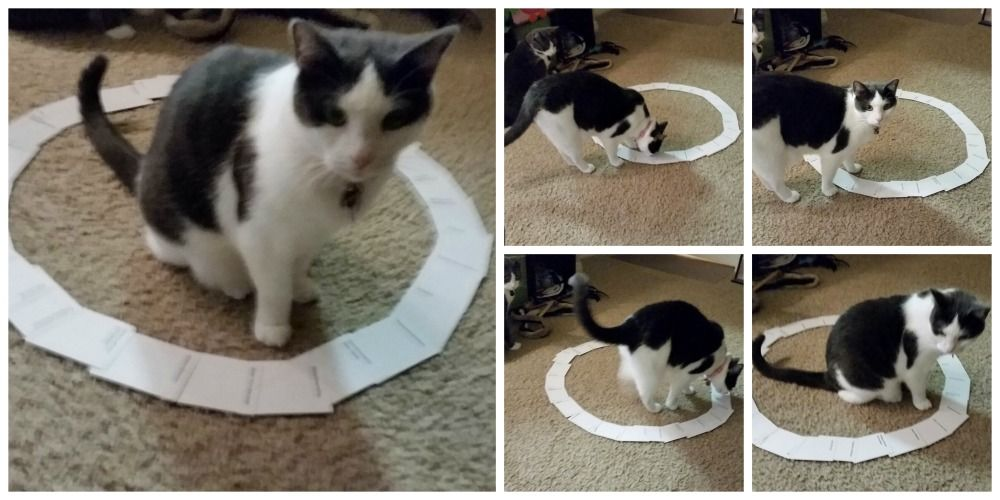 Zašto mace obožavaju krugove? Cats, Cute animals, Cat traps