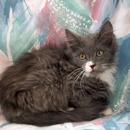 Breed Domestic Medium Hair Turkish Angora Mixed Gender Female Age Birthday Is 8 9 08 Size Medium Color Gr Angora Cats Turkish Angora Cat Cat Sweaters