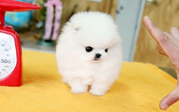Oh My My Micro Mini Pocket Puppies Micro Teacup Pomeranian