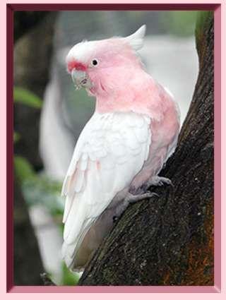 Pink - Cockatoo