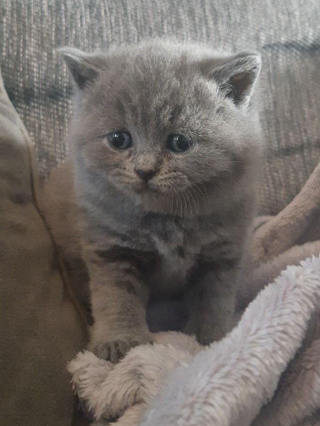 بچه_گربه نژاد بریتیش نر دو ماهه مولدین وارداتی واکسینه