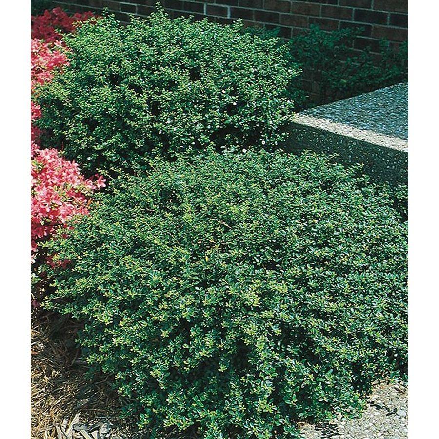 Ilex Crenata Helleri Lawn Garden Plants Shrubs