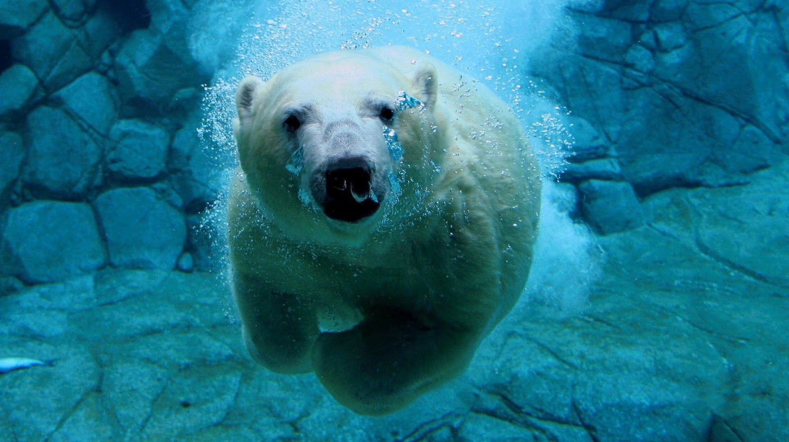 underwater animals   hd animal wallpaper with a polar bear swimming