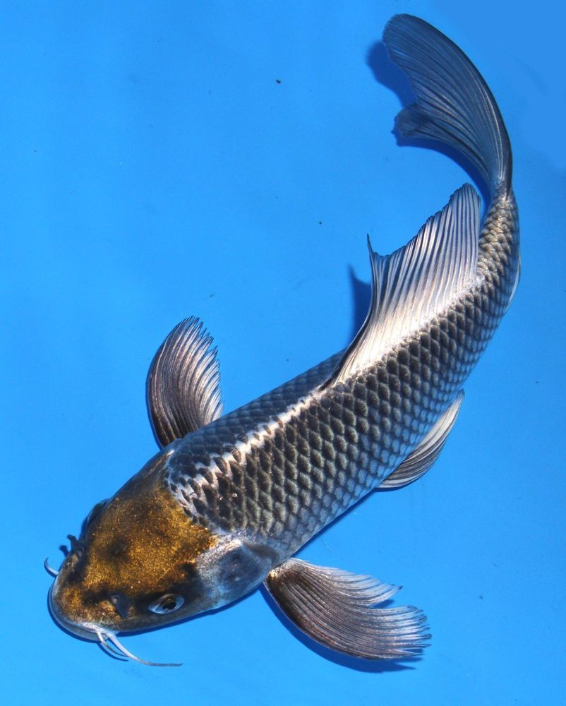 Live koi fish 9 10 kujaku butterfly black long fin koibay for Black koi fish