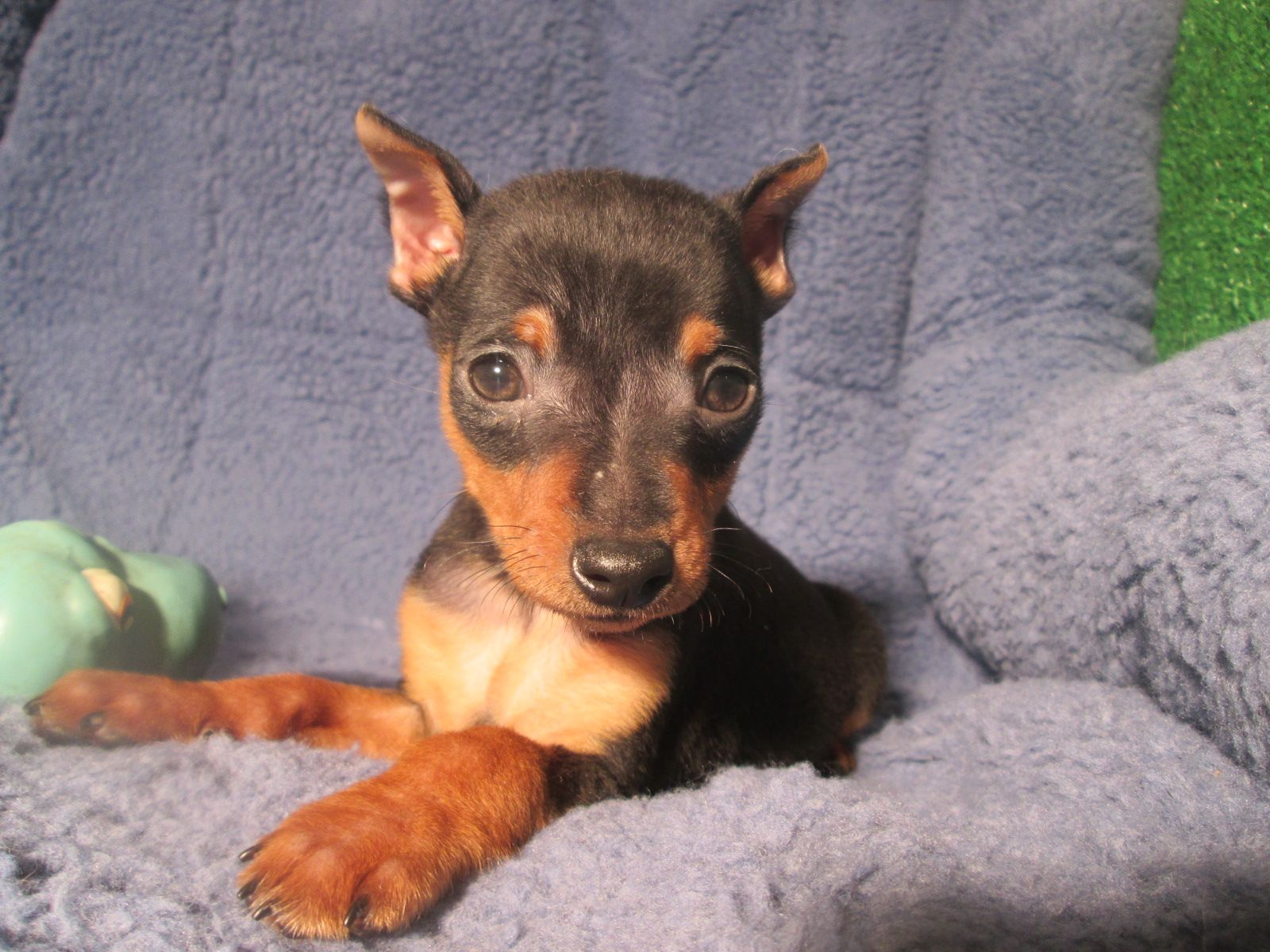 Magnificent Miniature Pincher Puppies Available 8 12 Weeks Of Age Permanent Shots And