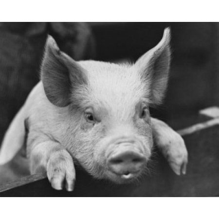 Close-up of a Yorkshire pig leaning over a fence Canvas Art - (24 x 36)