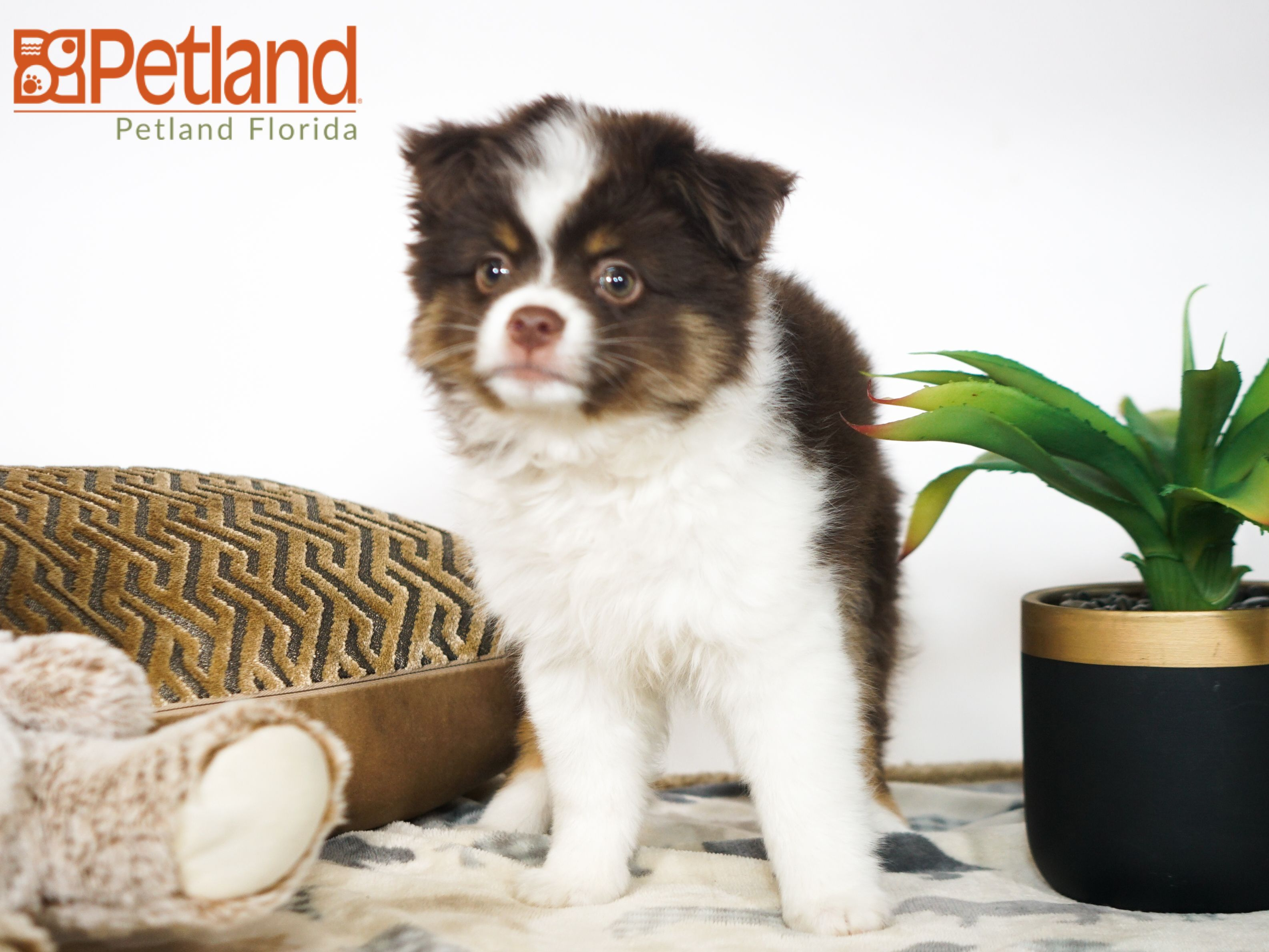 Petland Florida Has Toy Australian Shepherd Puppies For Sale Check Out All Our Available Pup Puppy Friends Australian Shepherd Puppies Toy Australian Shepherd