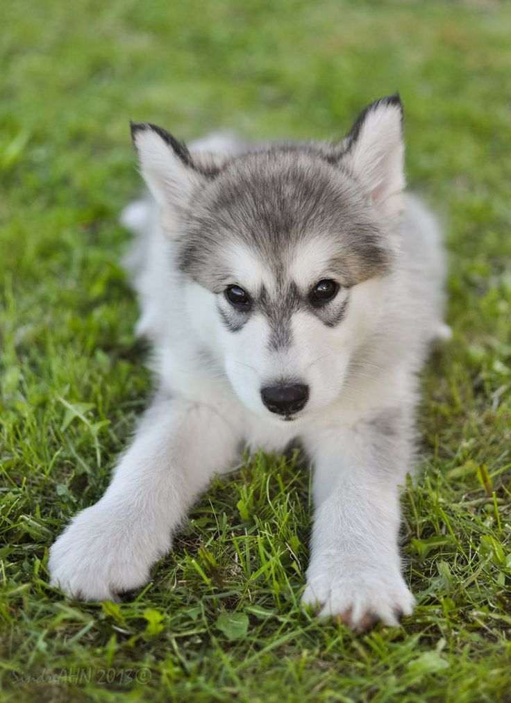 Husky Puppy Ready To Pounce Really Cute Puppies Cute Dogs Cute