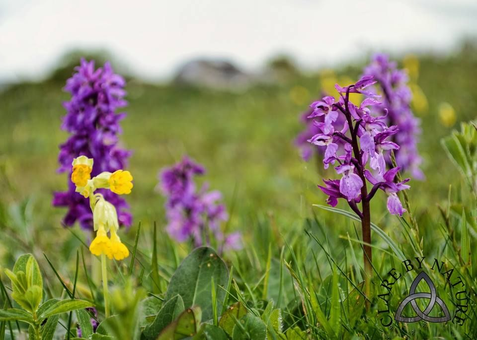 early purple ochids and cowslips in the Burren National