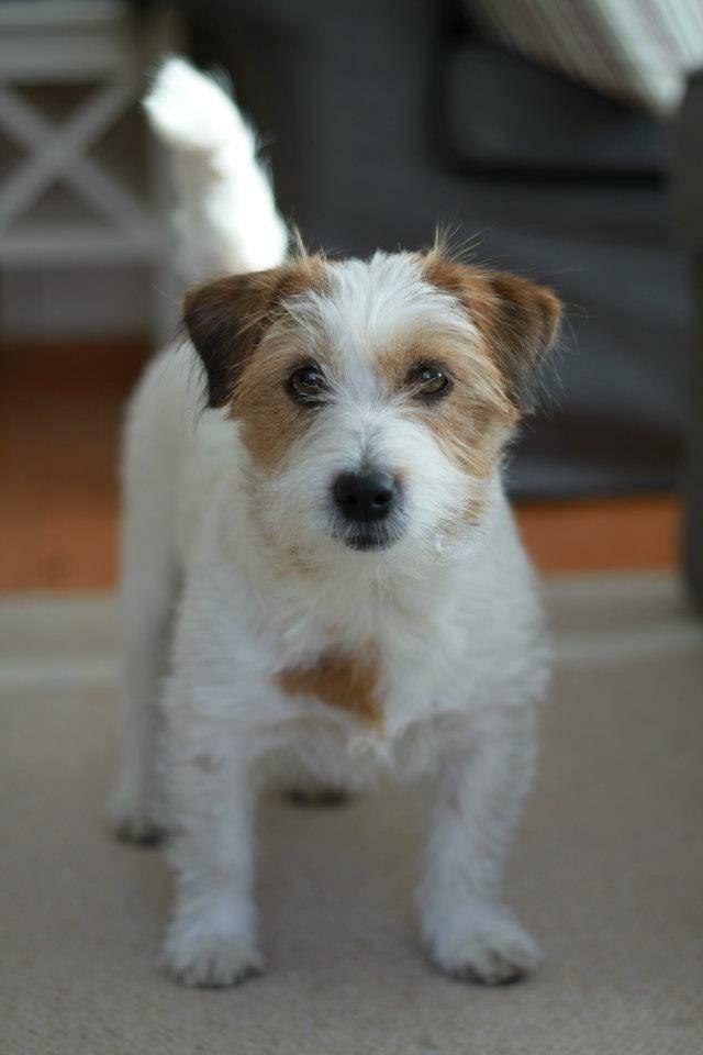 Awww Little Sugarplum Rat Terrier Dogs Jack Russell Dogs Dogs