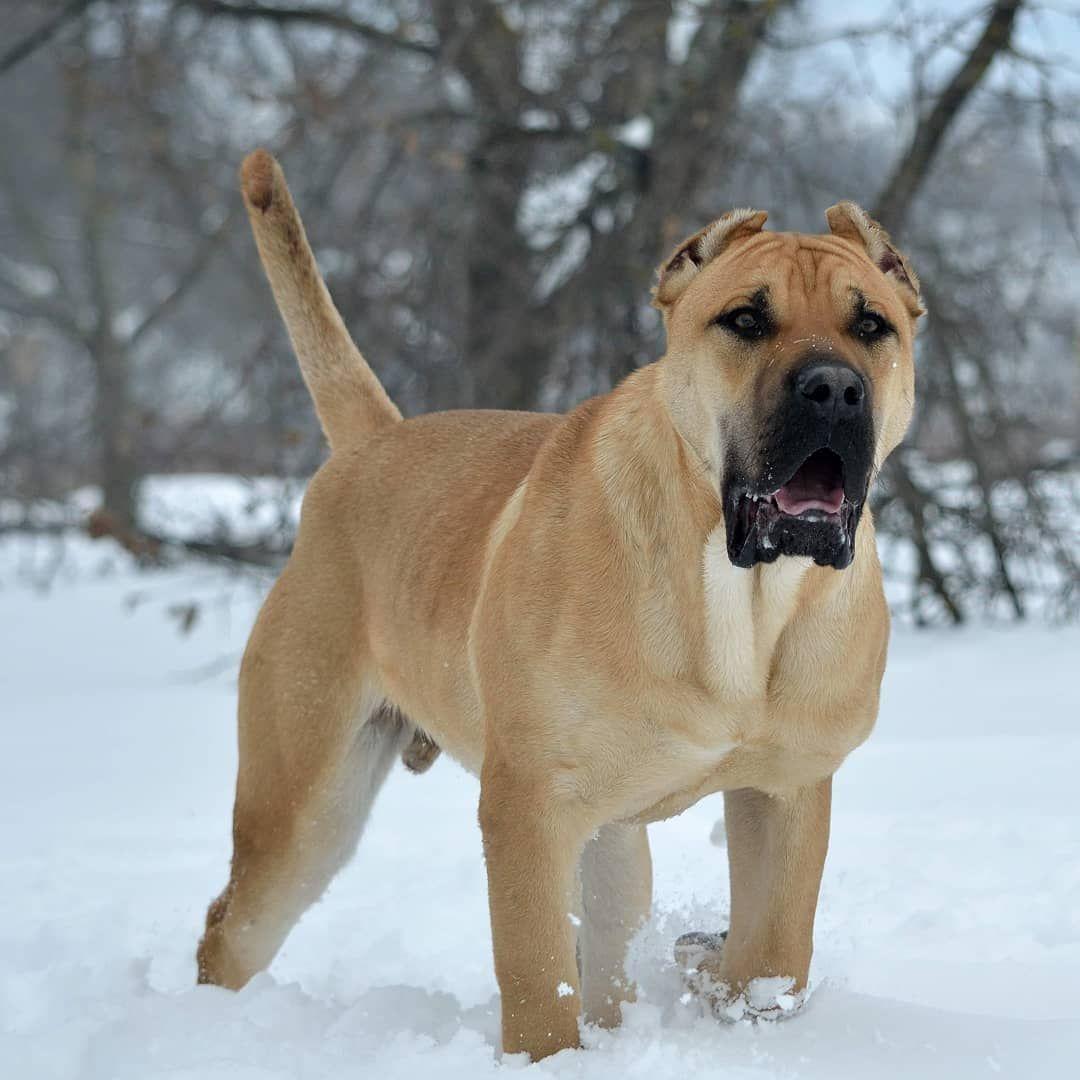8 Months Old Ao1 Son Of Cerber And Caramba Transylvanian Legacy Canario Presacanario Canaryislands Guarddog Beast Beast Presa Canario Dogs Mastiff Dogs