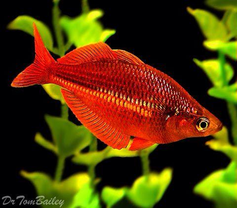 trifasciata rainbowfish featured item trifasciata rainbow fish