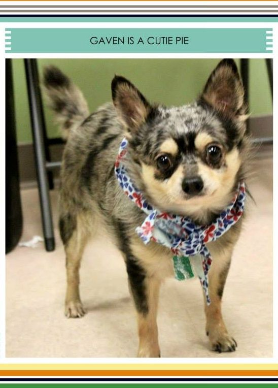 Gaven Is A Blue Heeler Chihuahua Mix And He Weighs 11 Pounds He