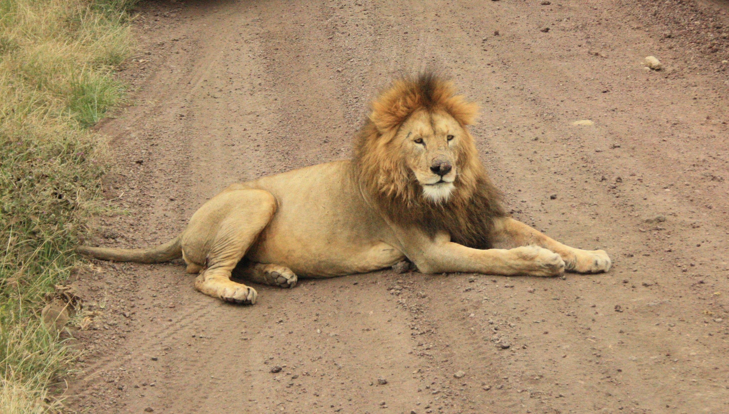 картинка сидящий лев был такой необыкновенно