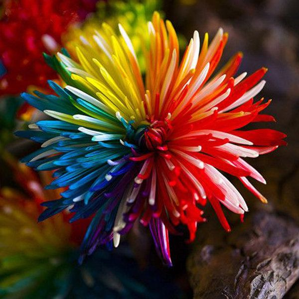 20Pcs Rainbow Chrysanthemum Flower Seeds Rare Color Home Garden Bonsai Plant