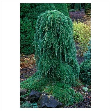 Weeping hemlock an easy small tree with character for for Weeping trees for small gardens