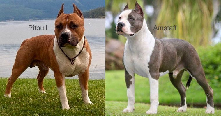 Pitbull Vs American Staffordshire Terrier Comparison The Amstaff